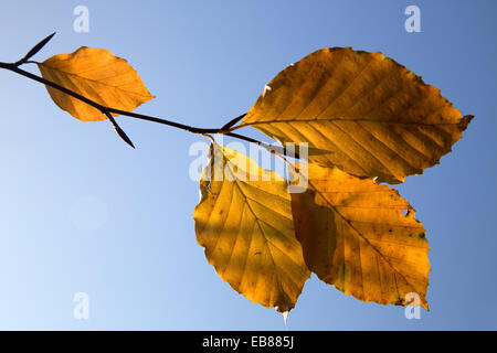 Autumn leaves of beech tree, blue sky in background - Stock Photo