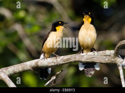 Black-capped Donacobius (Donacobius atricapilla) - Stock Photo