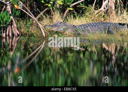 Alligator, JN Ding Darling National Wildlife Refuge, Florida. - Stock Photo