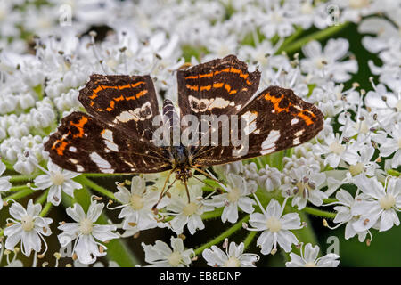 Map butterfly (Araschnia levana) on flower - Stock Photo