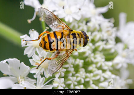 Dead Head Hoverfly  (Myathropa florea) on flower - Stock Photo