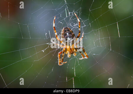 European garden spider / diadem spider / cross spider / cross orbweaver (Araneus diadematus) in web - Stock Photo