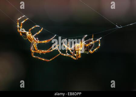 European garden spiders / diadem spider / cross spider / cross orbweaver (Araneus diadematus), courting male approaching - Stock Photo