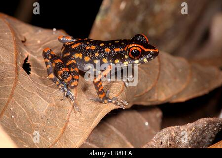 orange-Spotted Stream Frog, Rana picturata, gading national park, sarawak, malaysia, borneo - Stock Photo