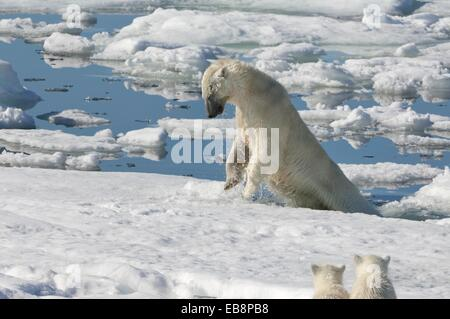 Female Polar bear Ursus maritimus hunting ringed seal Pusa hispida or phoca hispida and accompanied by two cubs - Stock Photo