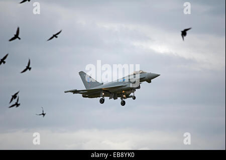 Eurofighter Typhoon FRG4 Military Jet Fighter avoiding bird strike on returning to base at RAF Lossiemouth.  SCO - Stock Photo