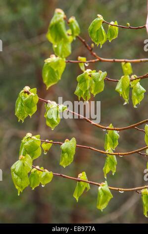 Large-leaved linden (Tilia platyphyllos) Parque Natural de la Serranía de Cuenca. Province of Cuenca. Spain. - Stock Photo