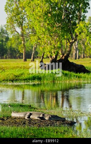 Large saltwater crocodile Yellow Water Billabong located at the end of Jim Jim Creek a tributary of the South Alligator - Stock Photo