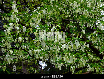 Davidia involucrata Dove-tree Handkerchief Tree flower flowers flowering white tree trees ornamental RM floral - Stock Photo