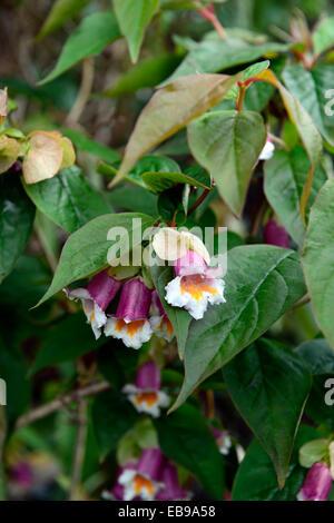 dipelta ventricosa pink white flowers flower flowering shrub shrubs spring RM Floral - Stock Photo
