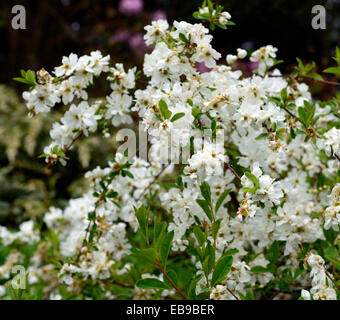 exochorda x macrantha the bride white flower flowers flowering shrubs summer  RM Floral - Stock Photo