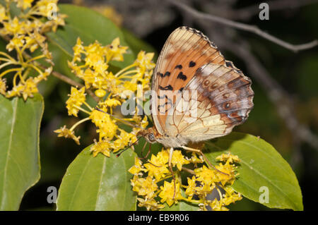 Marbled Fritillary (Brenthis daphne), outer wings, searching for nectar in a Jerusalem Thorn or Crown of Thorns - Stock Photo