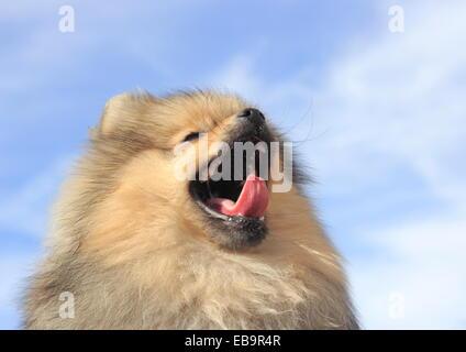 Pomeranian, male dog, 8 months, yawning - Stock Photo