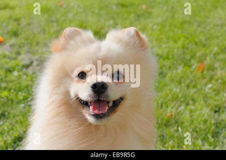 Pomeranian, male dog, 2 years - Stock Photo