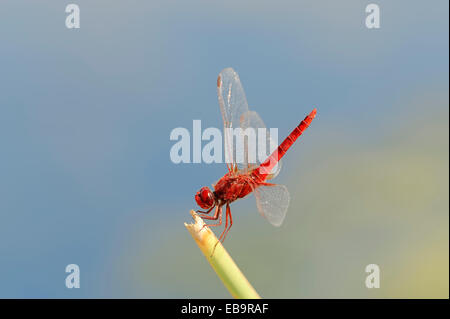 Scarlet Dragonfly (Crocothemis erythraea), male, Central Macedonia, Greece - Stock Photo