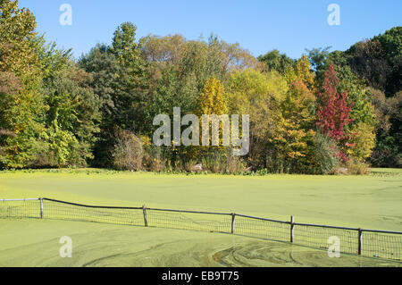 Algae bloom covering the surface of a pond in Prospect Park, Brooklyn, NYC, USA - Stock Photo