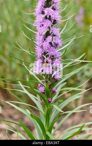 Scaly blazing star (Liatris squarrosa) - Stock Photo