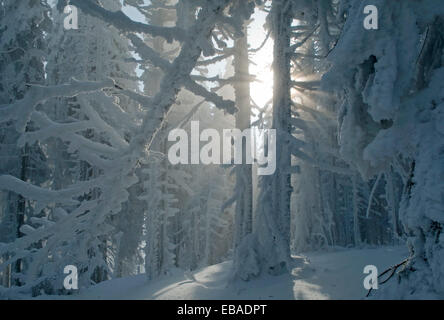 This is a winter forest. Sun rays struck through the frost trees. - Stock Photo