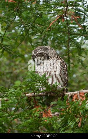 Barred Owl sleeping in daylight in  Washington State in a Evergreen tree - Stock Photo