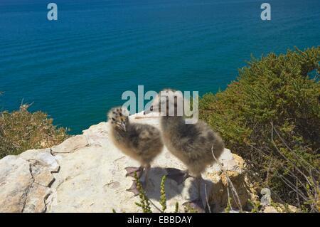 Yellow-Legged Gull Larus cachinnans, Algar Seco, Carvoeiro, Lagoa, Algarve, Portugal. - Stock Photo