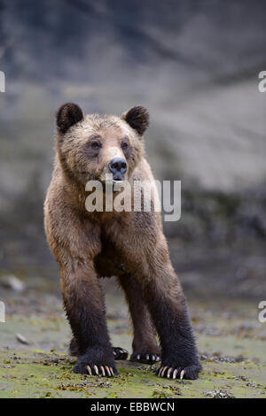Female grizzly bear (Ursus arctos horribilis) Khutzeymateen Grizzly Bear Sanctuary British Columbia Canada June - Stock Photo
