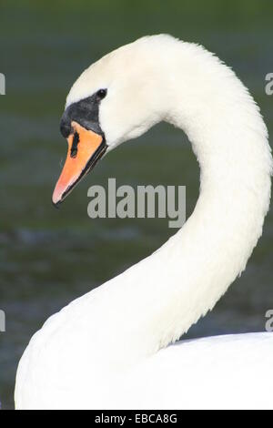 Mute Swan curved neck - Stock Photo