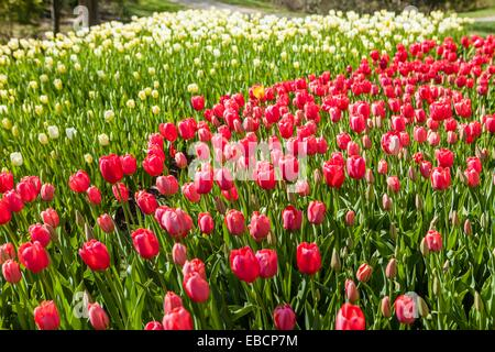 Spring Tulips in Bloom at Brookside Garden Stock Photo: 75883579 - Alamy