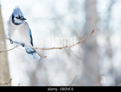 A Blue Jay perched on tree branch. - Stock Photo