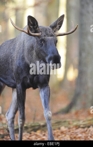 Close-up of an Eurasian elk (Alces alces) or moose in autumn in the bavarian forest. - Stock Photo