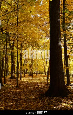 Autumn in an oak maple forest. Thatcher Woods Forest Preserve, Cook County, Illinois.