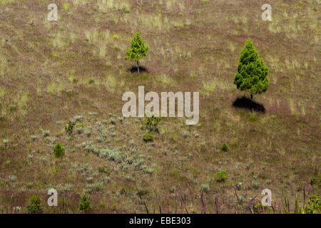 Spruces and edelweiss flowers on the caldera slope of Mount Guntur, Indonesia. - Stock Photo