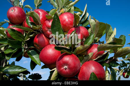 Close-up of red apples hanging from apple tree, Germany - Stock Photo