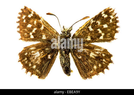 Safflower Skipper (Pyrgus carthami) butterfly - Stock Photo