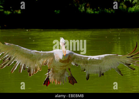 Dalmatian Pelican (Pelecanus crispus)  in flight just prior to landing - Stock Photo