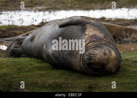 Donna Nook nature reserve, Lincolnshire, UK. 28th November, 2014. Grey seals and seal pups at Donna Nook nature - Stock Photo