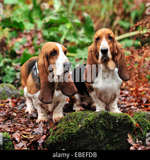 two basset hounds - Stock Photo
