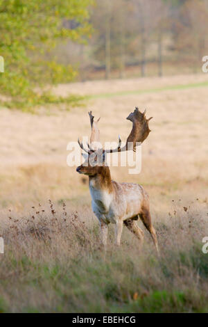 Fallow buck at Petworth Park, West Sussex - Stock Photo