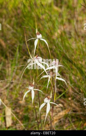 Caladenia vulgata, Common Spider Orchids near Mt Barker, WA, Australia - Stock Photo