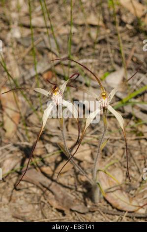 Caladenia vulgata, Common Spider Orchid in Farrah Reserve, Kojonup, WA, Australia - Stock Photo