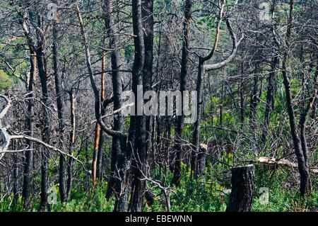 Vegetation six years after big forest fire - Stock Photo