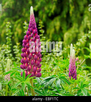 Large and spectacular tall spike of deep purple / red lupin flowers among dense emerald green foliage in English - Stock Photo