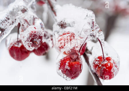 Bunch of red crab apples frozen and covered with ice on snowy branch in winter, close up - Stock Photo