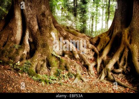 Tree roots, Beech (Fagus sp.), Nature reserve Felsenmeer, Hemer, Sauerland region, North Rhine-Westphalia, Germany, - Stock Photo