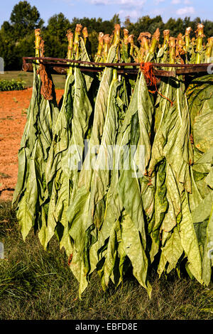 Aromatic Fire-cured Tobacco plant genus Nicotiana of the Solanaceae (nightshade) family being grown and cultivated - Stock Photo