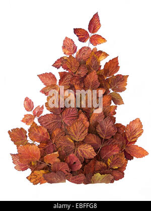 Creative composition of red autumn leaves. Isolated on white - Stock Photo