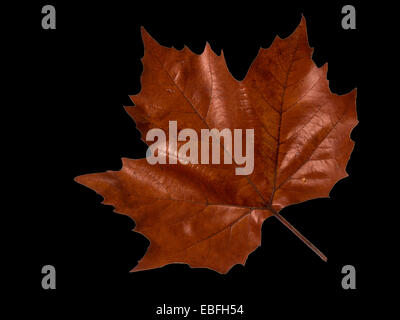 Maple Leave - Autumn - Stock Photo