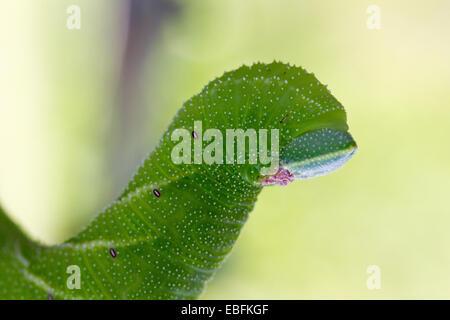 Eyed Hawk Moth caterpillar - Stock Photo