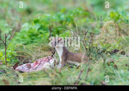 European Stoat - Mustela erminea, feeding on roadside carrion - Stock Photo