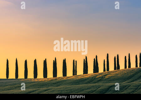In the heart of Tuscany, some famous Cypress trees near Agriturismo Poggio Covili - Stock Photo