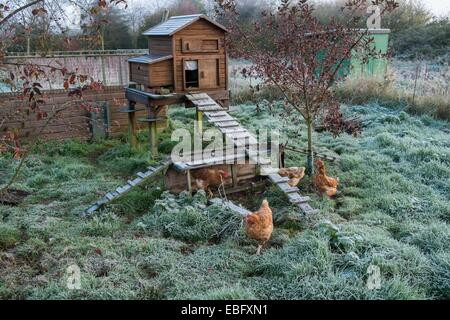 Pet chickens and raised chicken coop in frosty weather - Stock Photo